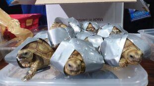 Oklejone taśmą, zapakowane do walizek. Celnicy znaleźli 1500 żółwi