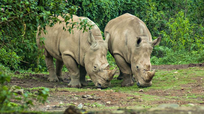 Nosorożec jawajski może wyginąć przy kolejnym uderzeniu tsunami