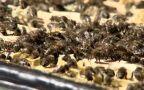 Pszczoły z polskich pasiek (wideo archiwalne)