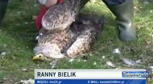 Ranny bielik z okolic Choszczna (TVN24)